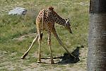 young reticulated giraffe