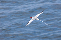 Red-billed tropicbird, South Plaza Island, Galapagos Islands, Ecuador
