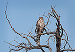 Young Cooper's Hawk along Little Horse Trail, near Sedona, Arizona