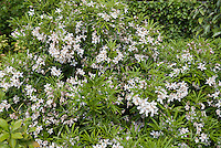 Choisya 'Aztec Pearl' white flowering shrub bush