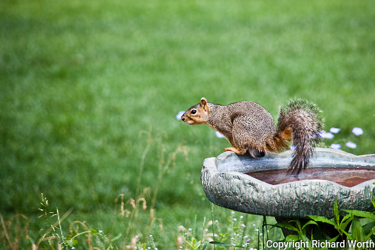 An Eastern fox squirrel strikes a pose at the edge of a birdbath and appears to be testing the water temperature with its tail.