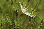 Jack-go-to-bed-at-noon, Tragopogon pratensis, single seed on grasses, Provence.France....