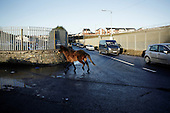"""Dublin, Ireland, January 6, 2011:.Homeless horse on the street in Finglas estate. .Since the beginning of crisis, between 10 and 20 thousand horses have become homeless or went in the hands of the youths in urban areas. Lots of Irish people who used to buy horses for fun during the boom years of """"Celtic Tiger"""", now are abandoning them faced with expenditure of 35 Euro a week to properly maintain a horse. This animal previously worth 2000 Euro now can be purchased for as little as 80 Euro. New owners keep their horses in city greens, city ruins, or their house gardens, in very bad conditions. Most do not get much food, many are starving, dying, being mistreated..(Photo by Piotr Malecki / Napo Images)..Dublin, Irlandia, 6/01/2011:.Bezdomny kon na ulicy w dzielnicy Finglas..Od poczatku kryzysu od 10 do 20 tysiecy koni zostalo wyrzuconych na ulice przez wlascicieli nie chcacych placic okolo 35 Euro/tydzien za ich utrzymanie. Wpadaja one czesto w rece mlodziezy z ubogich dzielnic miasta, ktora handluje nimi, bije, glodzi, trzyma w skrajnie trudnych warunkach, w przydomowych ogrodkach lub ruinach budynkow i szaleje na nich po miescie. Kon, ktory byl wart 2000 Euro teraz moze byc kupiony za 80. .Fot: Piotr Malecki / Napo Images."""