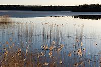 11.04.2009.Landscape with Common Reed (Phragmites australis) and Mallard (Anas platyrhynchos) in sunset..Bergslagen, Sweden.
