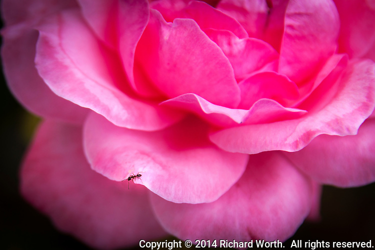 An ant wanders along a pink rose blossom.