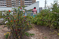 A rooftop vegetable garden in Toronto (Access Alliance)
