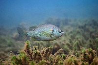 Redear Sunfish<br />