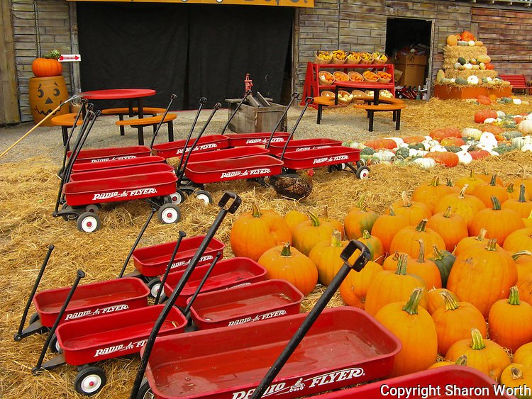 Red Radio Flyer wagons and pumpkins, orange, green and white  - The Pumpkin Depot in Half Moon Bay is ready to fill jack-o'-lantern dreams. Pay not attention to the rooster.