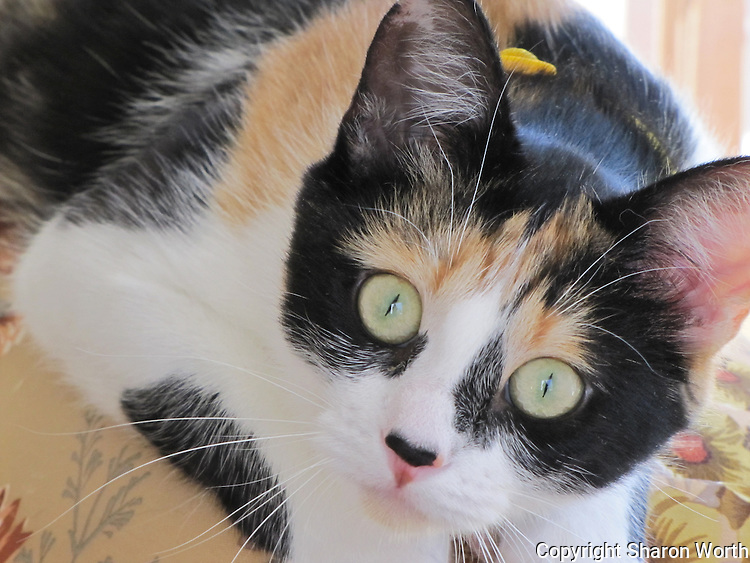 Cali,still mostly kitten. is attentive and inquisitive in not quite equal measure.  This is one of the less common attentive moments.