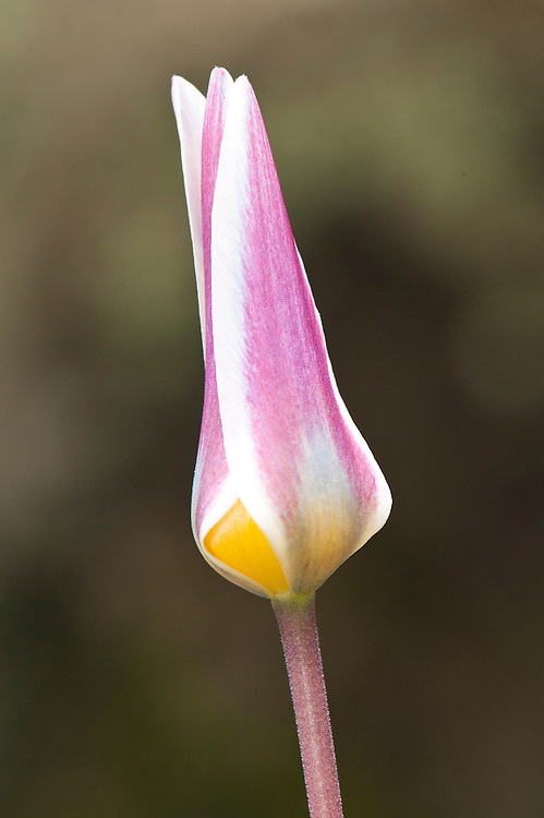 Water-lily tulip (Tulipa kaufmanniana), glasshouse, early March.