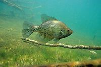 Black Crappie<br />