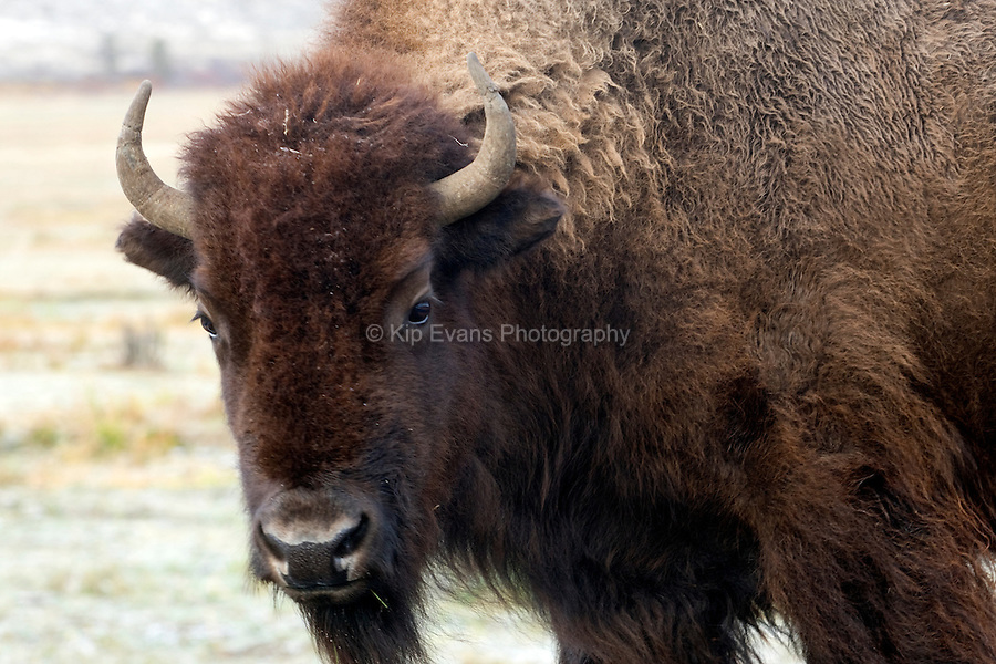 American Bison, Yellowstone National Park