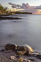 At sunset, two Hawaiian green sea turtles (or honu) sleep on the beach for the night in Puako, Big Island.