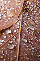 Close up view of the intricate and magnificent structure and beauty of autumn leaves enhanced with fresh dew drops.