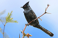 Courtesy photo/PHYLLIS KANE<br /> A phainopepla, native to the desert Southwest, perches on a mequite branch in southern Arizona. Phyllis Kane of Fayetteville took the picture on a recent trip to the Tuscon area.