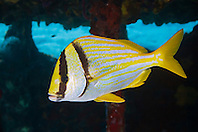 Porkfish, Anisotremus virginicus, sheltering under Sugar Wreck, the remains of an old sailing ship that grounded many years ago, West End, Grand Bahamas, Atlantic Ocean