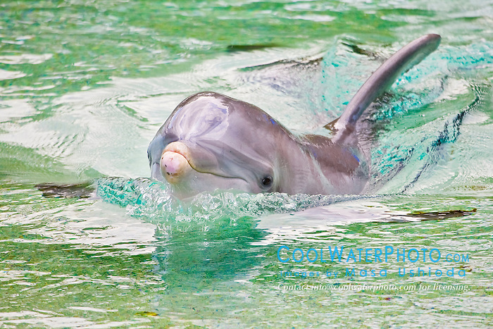 Atlantic bottlenose dolphin, Tursiops truncatus, spyhopping, Dolphin Quest, Hilton Waikoloa Village, Big Island, Hawaii, USA (c)