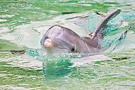 Atlantic bottlenose dolphin, Tursiops truncatus, spyhopping, Dolphin Quest, Hilton Waikoloa Village, Big Island, Hawaii, USA (c)