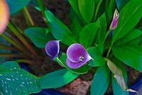 Single Calla Lily, Purple, Botanical Gardens, Balboa Park, San Diego, Ca
