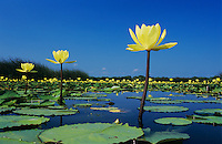 Yellow Waterlily, Nymphaea mexicana, blooming in lake, Welder Wildlife Refuge, Sinton, Texas, USA