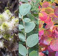 Fothergilla x intermedia 'Mount Airy' = 'Blue Shadow' in three different times of year, spring flowers, blue summer foliage, autumn color leaves, composite picture