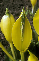 Lysichiton americanum, skunk cabbage flowers closeup