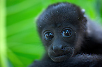 Mantled Howler Monkey head (Alouatta palliata), Costa Rica.