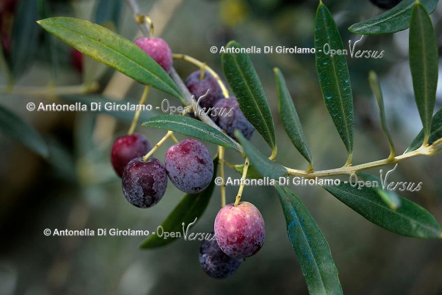 Paliano.Le olive Cultivar Rosciola.