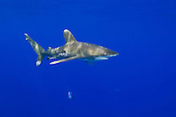Oceanic Whitetip Shark, Carcharhinus longimanus, and Pilot Fish, Naucrates ductor, off Kona Coast, Big Island, Hawaii, Pacific Ocean.