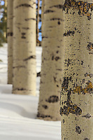 Winter Aspen Texture - Arizona<br />