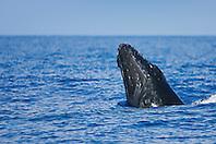 Humpback Whale calf, spyhopping, Megaptera novaeangliae, Hawaii, Pacific Ocean.