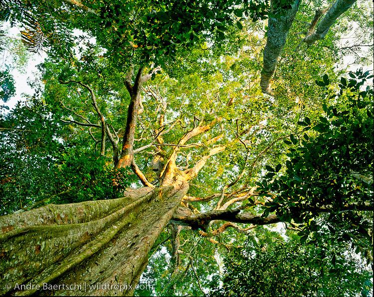 Emergent canopy tree (Sloanea obtusifolia), locally known as Huangana Caspi, in primary lowland tropical rainforest, Manu National Park, Madre de Dios, Peru.