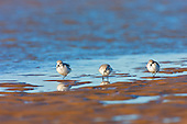 Sanderling, (Calidris alba), adult in winter plumage feeding along tide line on beach. A very high spring tide had caused the tide to go out much further than previous recent records of spring tides in about 10 years. So there was new ground for the birds to forage in. The Sanderling has no hind toe - giving it a distinctive running action, rather like a wind up toy, as it darts away from incoming waves on the waters edge.