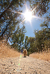 Dog (golden retriever) trotting down a trail, California