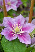 Clematis 'Pilu', striped pink perennial climbing flowering vine with pink lavender blooms