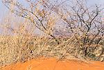 Cheetah cub, Kalahari Desert, South Africa