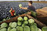 Foto: VidiPhoto<br /> <br /> EIMEREN - In het buurtschap Eimeren bij Elst (Gld) haalt personeel van groenteteler Twan Houterman van Betuwe Brassica uit Bemmel donderdag de eerste en laatste witte kolen van het seizoen binnen. De kolen worden met de hand gesneden en in bakken gelegd omdat ze bestemd zijn voor de versmarkt en horeca. Ondanks dat de kwaliteit van de kolen dit jaar &quot;subliem&quot; is, zijn de prijzen omgekeerd evenredig. Kolen brengen de teler slechts 8 tot 14 cent op en dat is flink onder de kostprijs. Oorzaak is indirect de Russische boycot, een grootgebruiker van de Nederlandse koolsoorten.