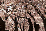 Cherry Blossoms Washington D.C., Cherry Blossoms,