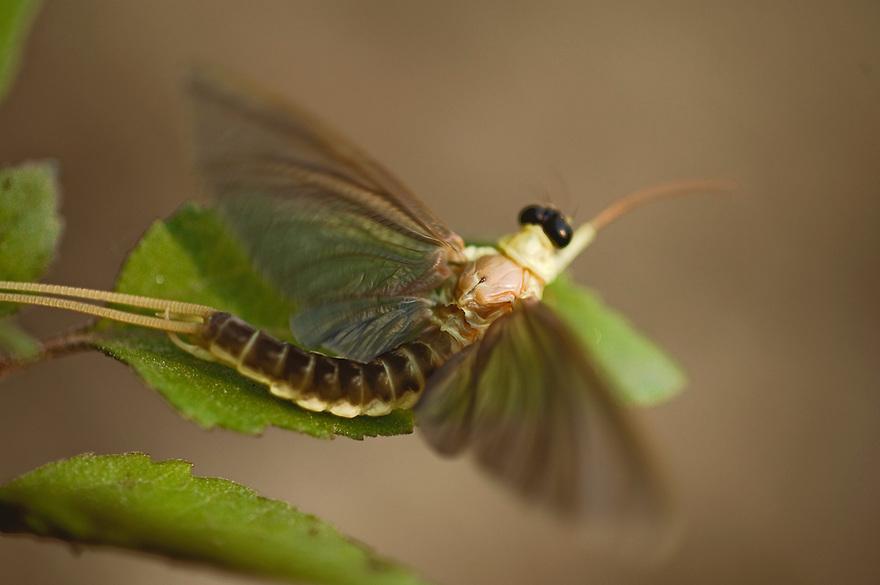 Mayfly (Palingenia Longicauda) in the river Tisza, Hungary, June 2009.
