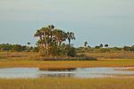 Royal palm trees (Roystonea regia) form a hardwood hammock in Copeland Prairie in Big Cypress National Preserve, Florida