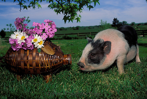 Pig meets wicker pig with flowers