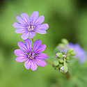 Geranium pyrenaicum 'Bill Wallis', mid May. Commonly known as mountain cranesbill.