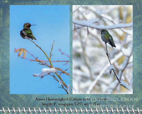 "December of the 2012 Birds of a Feather Calendar.  Photos are called ""Anna's Hummingbird in Winter"" and ""Anna's Hummingbird on snowy branch"" and show an Anna's Hummingbird sitting on end of snow covered tree branch in Winter with sun shining and blue sky all around."