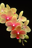 Phalaenopsis Wossner Rose yellow and pink red orchid hybrid of Barbara Moler x Cassandra