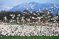 Snow Geese (Chen caerulescens) Migration, Flock of Migrating Birds at Reifel Bird Sanctuary, Delta, BC, Fraser Valley, British Columbia, Canada