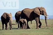 A baby African Elephant with family members. ,Loxodonta africana, Masai Mara Game Reserve, Kenya