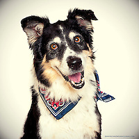 Happy Australian Shepherd at the Sacramento City Animal Shelter.