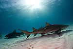 Lemon shark (Negaprion brevirostris) Tiger Beach, Bahamas
