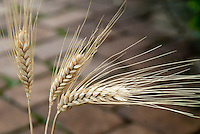 Barley, cereal grain, dried sheaf, Hordeum vulgare, grass family