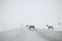 Caribou cow and calf cross the James Dalton in front of a Semi truck, arctic, Alaska